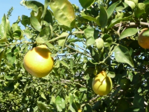 Grapefruit on the tree