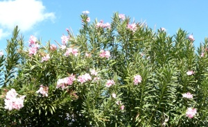 Oleander in bloom