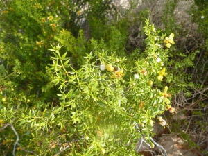 Creosote bush in sunshine