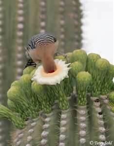 the gila woodpecker