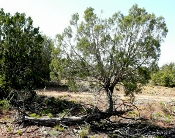 A juniper falls and rises again!
