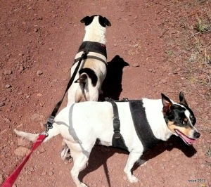 Bridget and Spike are connected so I only have to hold one leash.